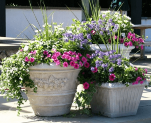 Full Sun container Plants