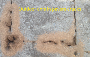 outdoor ants in pavers